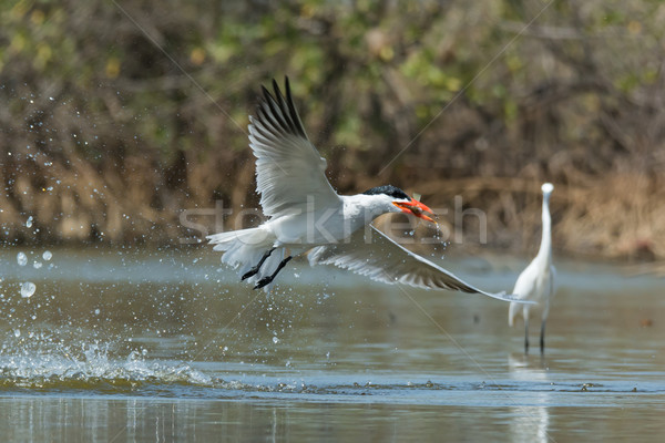 Caspian Tern in flight with a fish after a successful dive Stock photo © davemontreuil