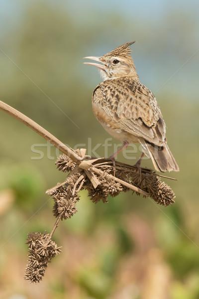 Hív aszalt szár magok címer kiemelt Stock fotó © davemontreuil