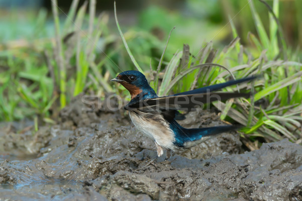 Red-Chested Swallow (Hirundo Lucida) ready for take off Stock photo © davemontreuil