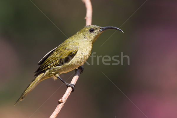 Olive sunbird (Cyanomitra olivacea) perched on a branch wet from Stock photo © davemontreuil
