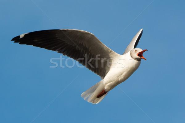Grey-Headed Gull screeching in flight Stock photo © davemontreuil