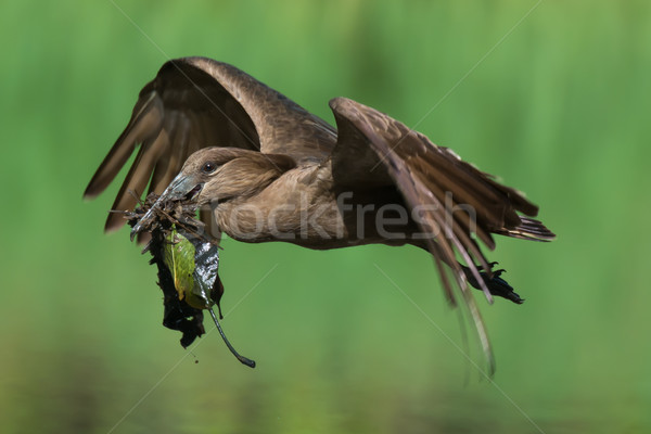Hammerkop with nesting material Stock photo © davemontreuil