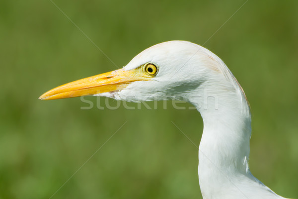 Head shot of a Cattle Egret Stock photo © davemontreuil