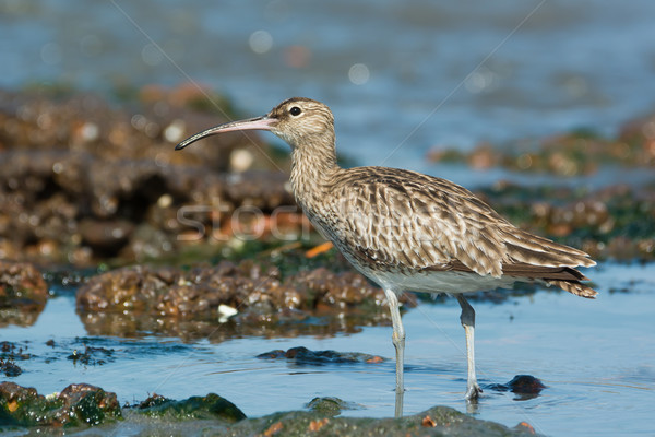 Whimbrel tilting head to the sky Stock photo © davemontreuil
