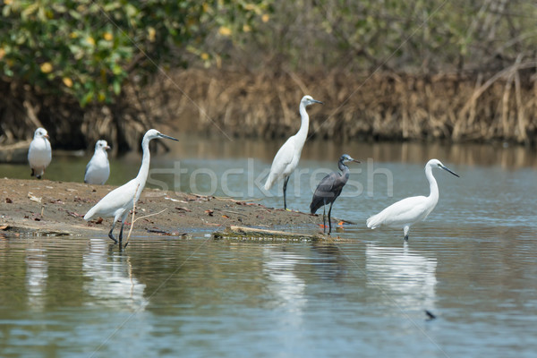 Four Western Reef Herons (three of them white morph) and two gul Stock photo © davemontreuil