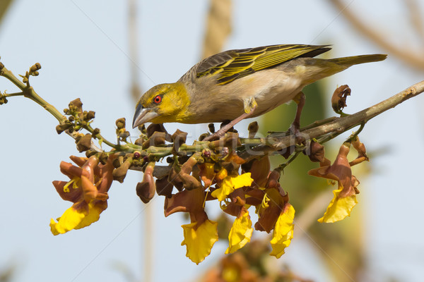Village Weaver perched on yellow and brown flowers Stock photo © davemontreuil