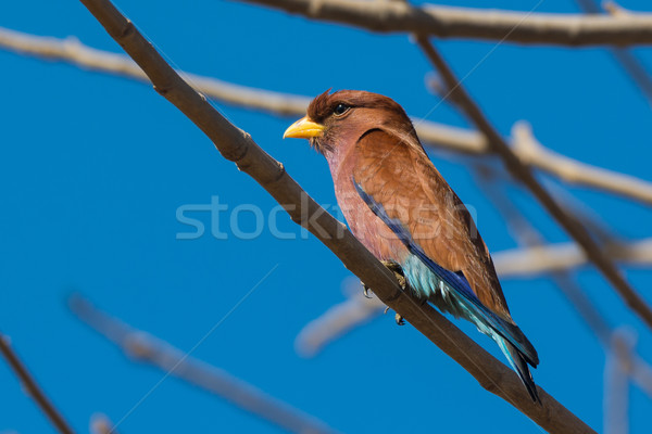 Broad Billed Roller perched in a Baobab tree Stock photo © davemontreuil