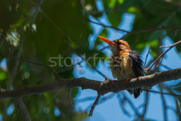 African Pygmy Kingfisher drying after a bath Stock photo © davemontreuil