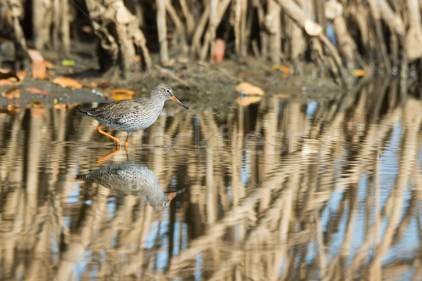 Common Redshank (Tringa totanus) wading through the mangroves Stock photo © davemontreuil
