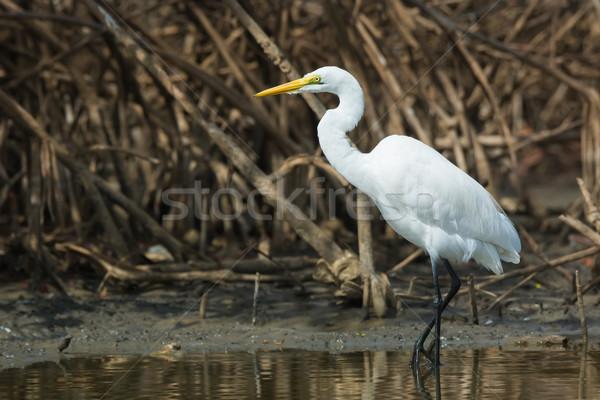 Great White Egret (Egretta alba) wading in the mangroves Stock photo © davemontreuil