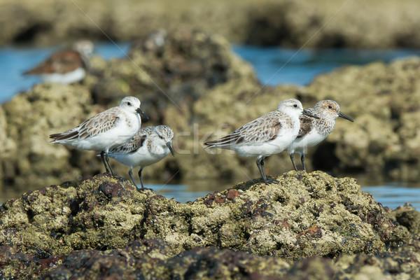 4 Sanderling (Caladris alba) standing on barnacle covered rocks  Stock photo © davemontreuil
