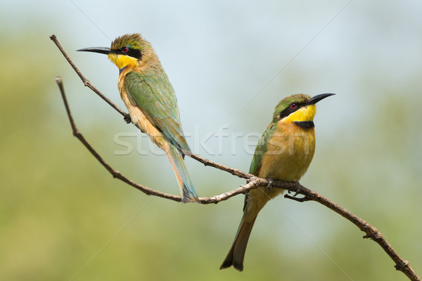 2 Little-Bee Eaters (Merops pusillus) perching together Stock photo © davemontreuil