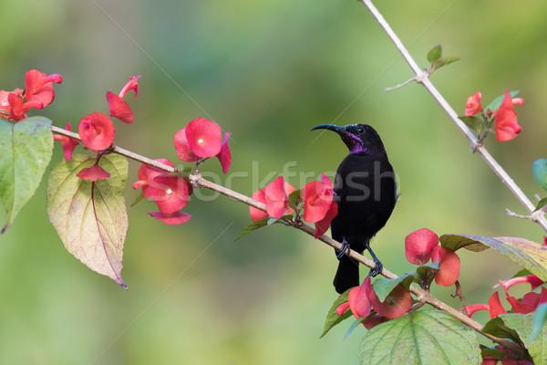 Noir couvert branche fleurs Afrique rose Photo stock © davemontreuil