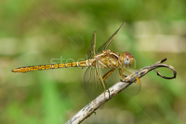 Female Scarlet Dragonfly perched on a stem Stock photo © davemontreuil