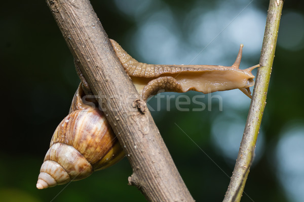 Giant West African Landsnail Stock photo © davemontreuil