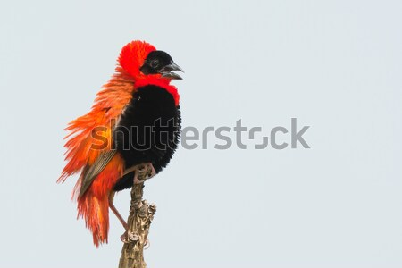 Northern Red Bishop Stock photo © davemontreuil
