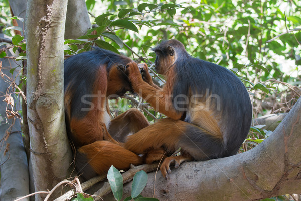 Female Western Red Colobus Monkey grooming her mate Stock photo © davemontreuil
