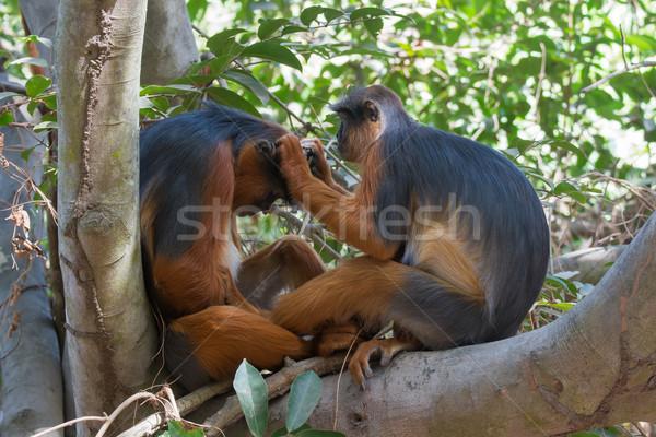 Vrouwelijke westerse Rood aap stuurman omhoog Stockfoto © davemontreuil