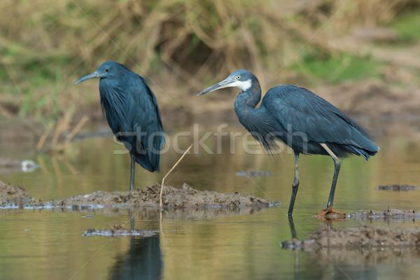 Westerse reiger naast zwarte water Blauw Stockfoto © davemontreuil