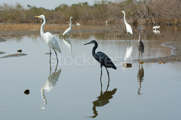 A group of Western Reef Herons (Egretta gularis) and Great White Stock photo © davemontreuil