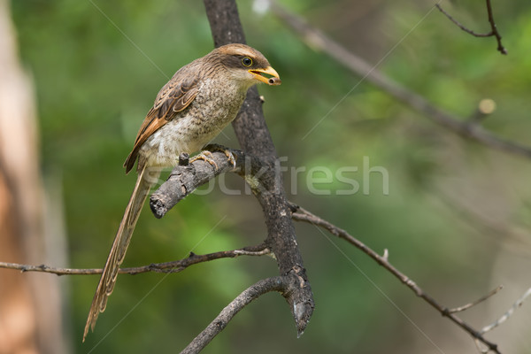 A Yellow-billed shrike (Corvinella corvina) eating a millipede Stock photo © davemontreuil