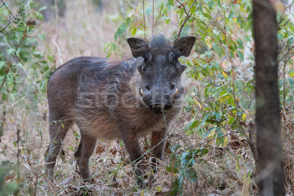 Common warthog (Phacochoerus africanus) in wooded area Stock photo © davemontreuil