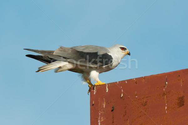 Black-Shouldered Kite Stock photo © davemontreuil