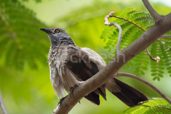 ブラウン 外に 羽毛 美しい いい かなり ストックフォト © davemontreuil