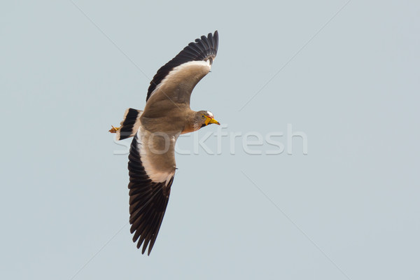 African Wattled Plover Stock photo © davemontreuil