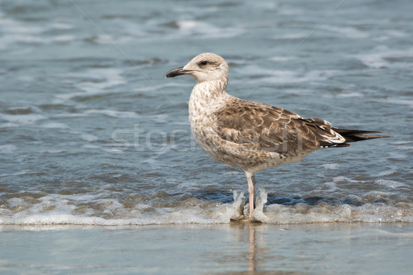 Young Lesser Black-Backed Gull (Larus fuscus) Stock photo © davemontreuil