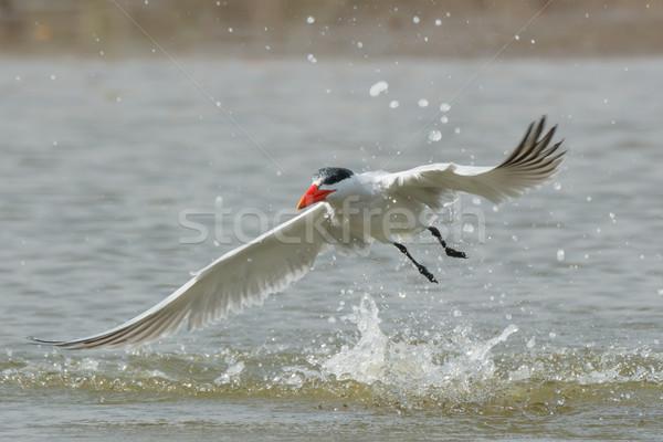 Lucht duik water vogel afrika Stockfoto © davemontreuil