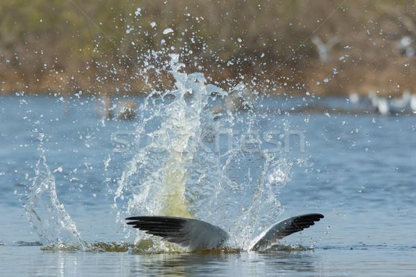 スプラッシュ 水 鳥 アフリカ 動物 ストックフォト © davemontreuil