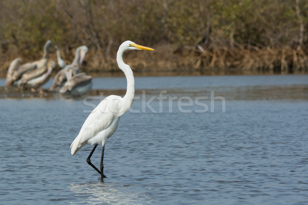 Great White Egret wading in shallow water Stock photo © davemontreuil