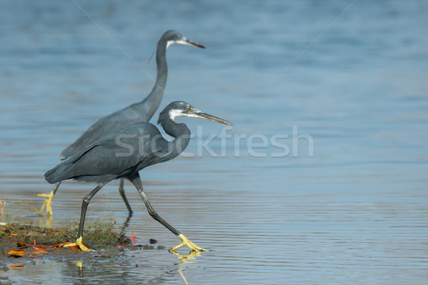 Two Western Reef Herons out wading Stock photo © davemontreuil