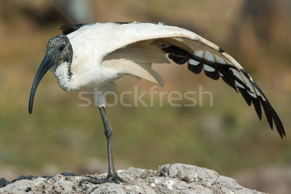 A Sacred Ibis (Threskiornis aethiopicus) balancing on one leg wh Stock photo © davemontreuil