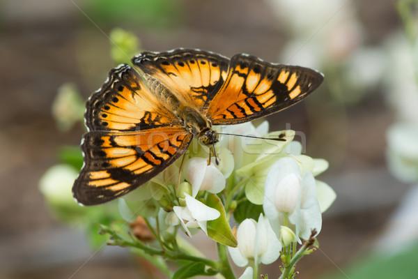 Peu papillon potable nectar fleurs blanches Photo stock © davemontreuil