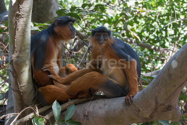 Western Red Colobus Monkey couple in a tree Stock photo © davemontreuil