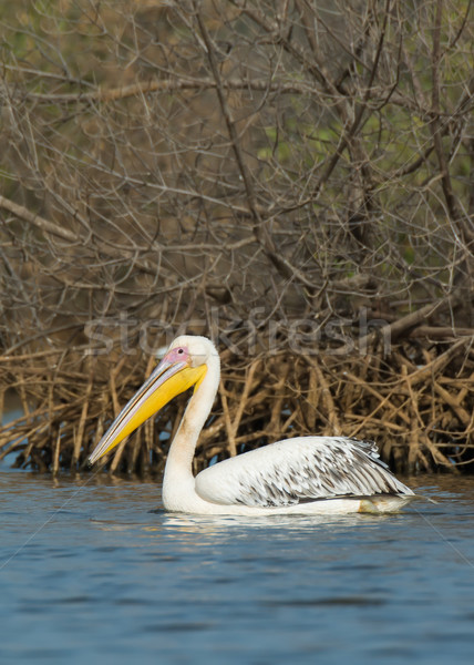 Great White Pelican in the mangroves Stock photo © davemontreuil