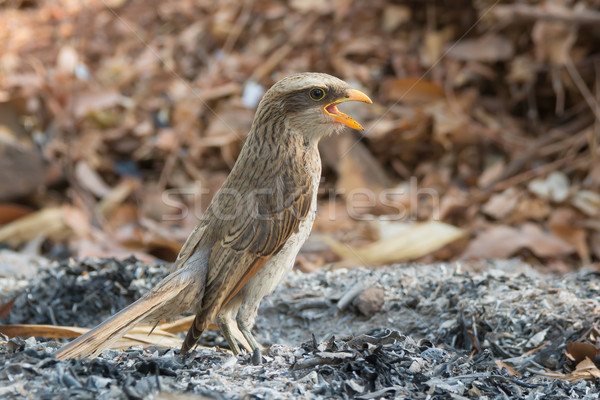 Yellow-billed shrike standing in ashes with its mouth wide open Stock photo © davemontreuil