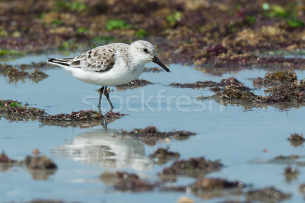 A Sanderling (Caladris alba) wading on a seaweed strewn beach Stock photo © davemontreuil