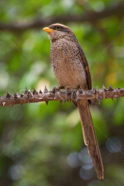 A Yellow-billed shrike (Corvinella corvina) perched on a spiky s Stock photo © davemontreuil