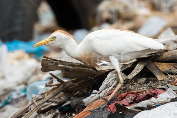 A Cattle Egret (Bubulcus ibis) on a pile of garbage holding a ma Stock photo © davemontreuil