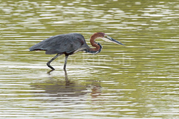 A Goliath Heron (Ardea goliath) wading in shallow water Stock photo © davemontreuil
