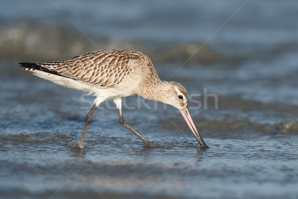 Bar-tailed Godwit (Limosa lapponica) probing the sand for worms Stock photo © davemontreuil