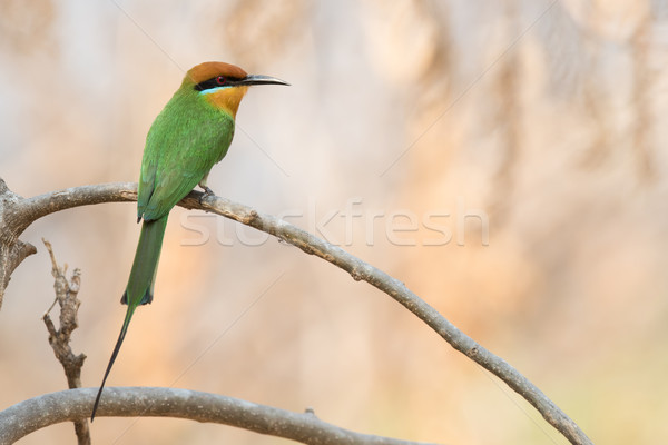 Stock photo: Böhm's bee-eater (Merops boehmi) shown from the back