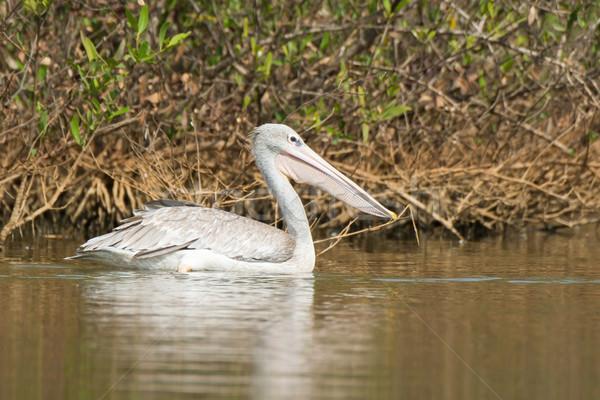 Pink-backed Pelican (Pelecanus rufescens) Stock photo © davemontreuil