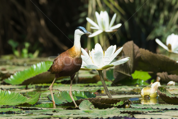 African Jacana standing beside flowering lilies Stock photo © davemontreuil