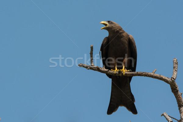 Zwarte Kite huilen vogel mooie roepen Stockfoto © davemontreuil