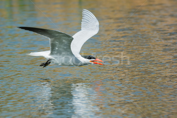 Caspian Tern gliding low over fresh water ready to scoop up a dr Stock photo © davemontreuil