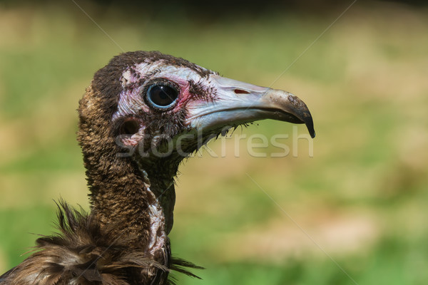 Detailed head-shot of a young Hooded Vulture Stock photo © davemontreuil